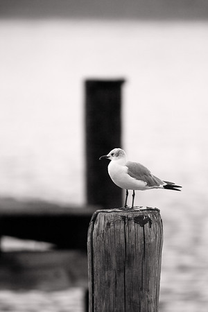 Dockside Gull