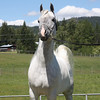 CH Marquis owned by Dream Meadow Arabians.<br /> <br /> Web site: Dreammeadowarabians.com