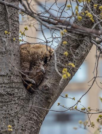 Napping Bandit
