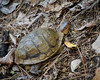 Tortoise on the Sunset Trail, Hot Springs National Park, Arkansas.