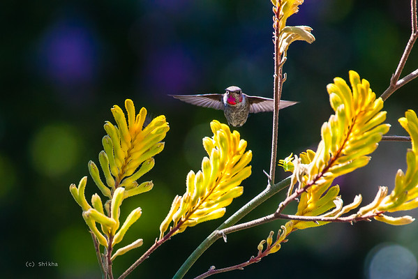 The smallest birds on the planet, Humming bird!