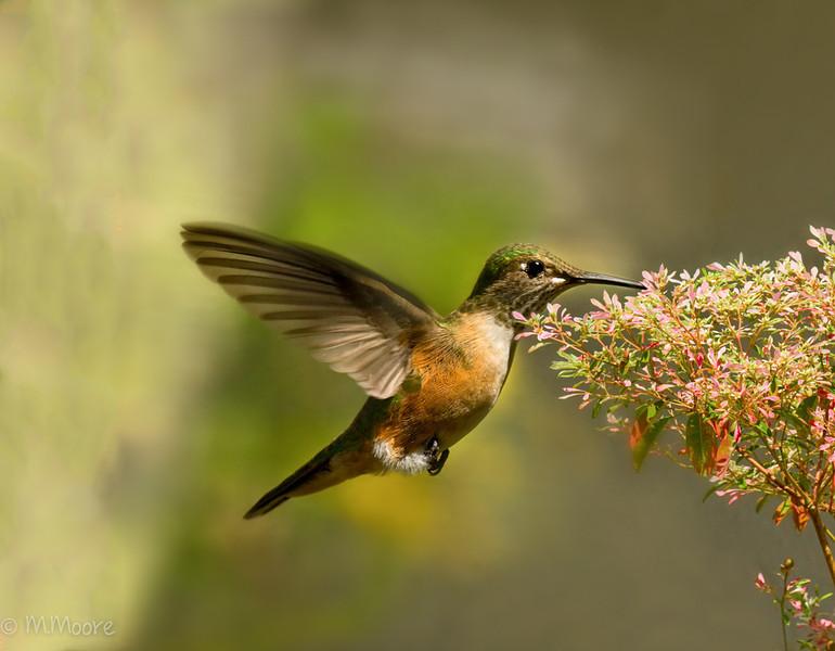 Hummingbird with Pinks