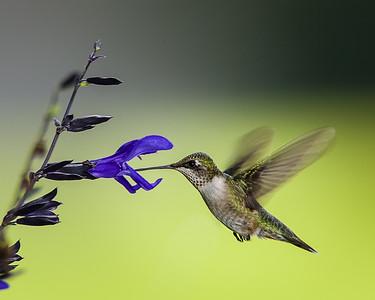 Midtown Hummingbird