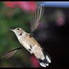 Hummingbird in Hoover Mode