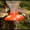 Hummingbirds in Feeding Frenzy