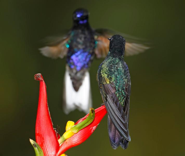 Velvet-purple Coronet Hummingbirds facing off, Tandayapa, Ecuador