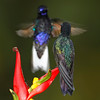 Velvet-purple Coronet Hummingbirds facing off, Tandayapa, Ecuador