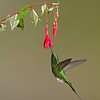Booted Racket Tail, Tandayap, Ecuador