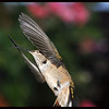 Hummingbird in the Witness Protection Program