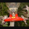 Hummingbird Mooning Photographer