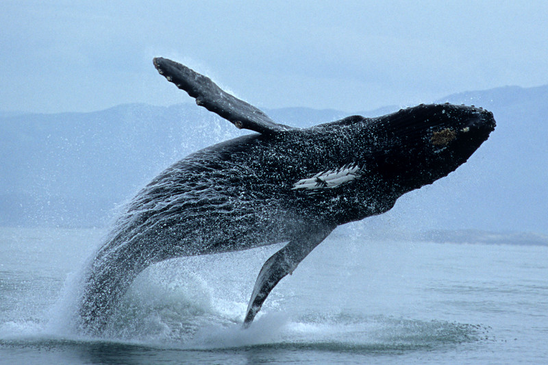 Humpback Whale - Breach