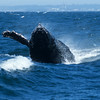 Humpback Whale - Head Slap