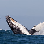 Humpback Whales : Humpback Whales (Megaptera novaeangliae) of the Central California-Coast
