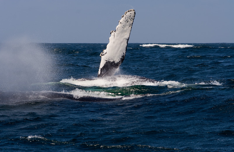 Humpback Whale - Fin Wave