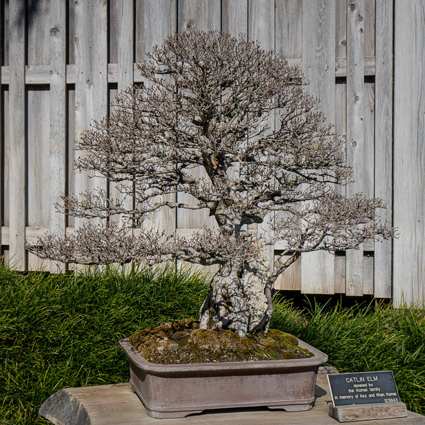 Catlin Elm on display at the Bonsai Exhibit in the Huntington Gardens