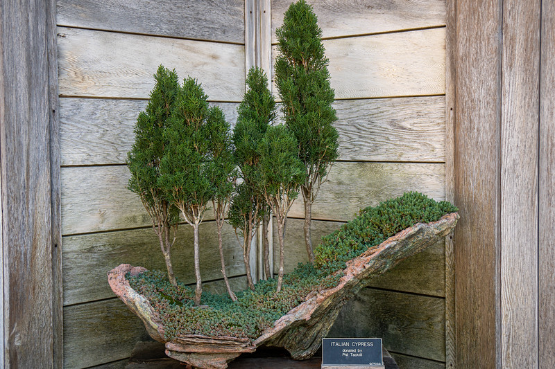 Cypress bonsai at the Huntington Botancial Gardens