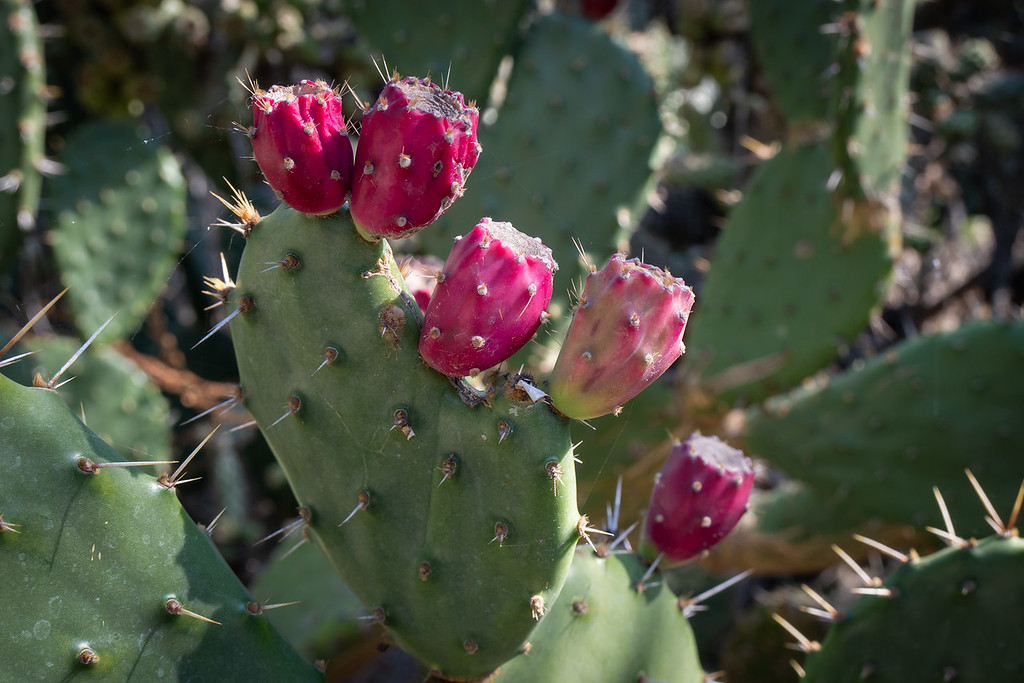 Prickly Pear growing in the Desert Garden of the Huntington