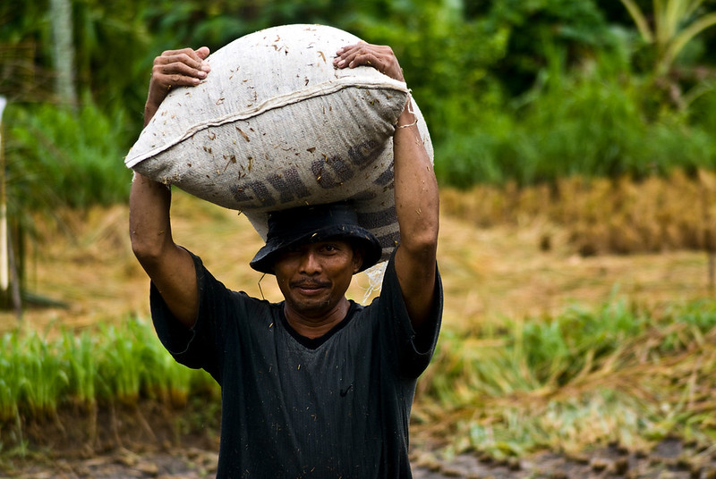 LABOUR MAN CARRYING RICE. BALI. INDONESIA.