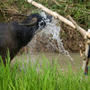 WASH THE WATERBUFFALO. TANA TORAJA. SULAWESI.