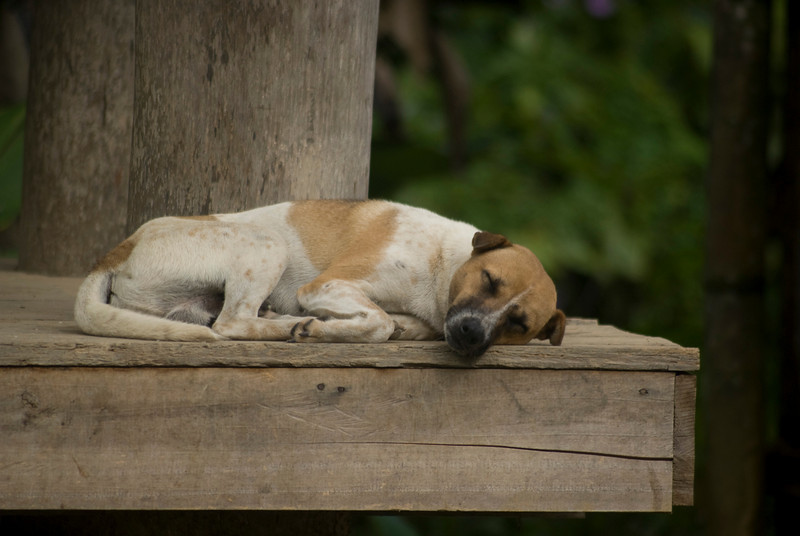 DOG SLEEPING. TONGKONAN. SULAWESI. TANA TORAJA.
