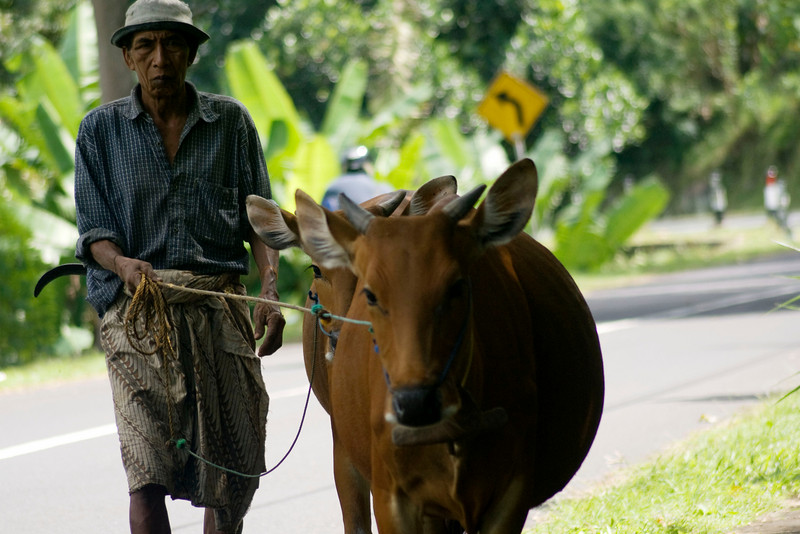 OLD MAN WITH HIS COWS. BALI. INDONESIA.