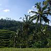 RICE PADDIES. BALI. INDONESIA.