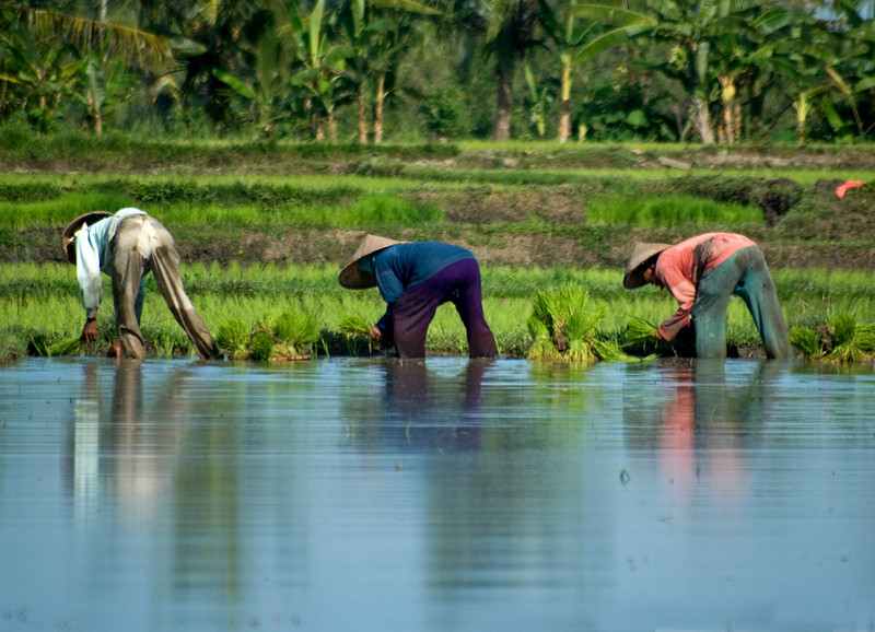 BALI. WORKING ON THE RICE FIELD.