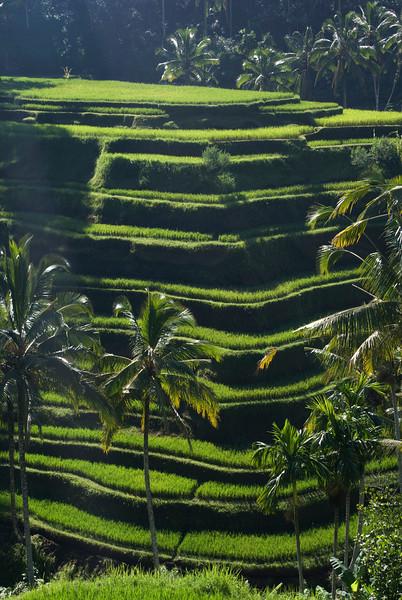 BALI. RICE PADDIES. INDONESIA.