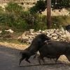 PIGS. SAMOSIR ISLAND. DANAU TOBA. SUMATRA.