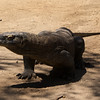 KOMODO DRAGON. RINCA. KOMODO. INDONESIA.