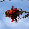 GILI AIR. LOMBOK. RED FLOWER ON THE BEACH. INDONESIA.