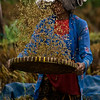 BALI. AN OLD BALINESE LADY THROWS FRESH RICE INTO THE AIR.