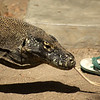 KOMODO. RINCA. KOMODO DRAGON AND A FLIP FLOP. INDONESIA.