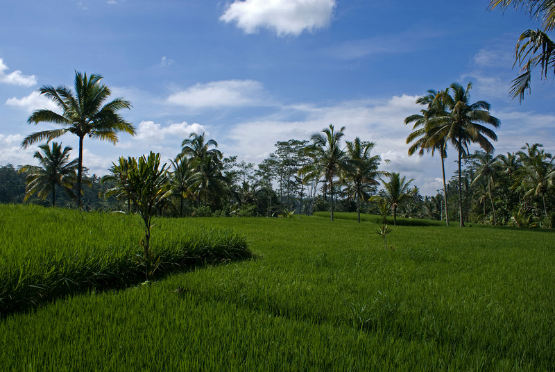 RICE FIELDS. BALI. INDONESIA.