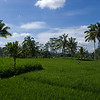 RICE FIELDS. BALI. INDONESIA.