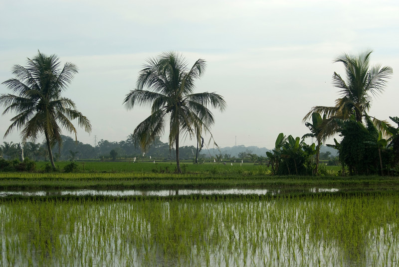 BALINESE RICE FIELD WITH PALM TREES. BALI. INDONESIA.