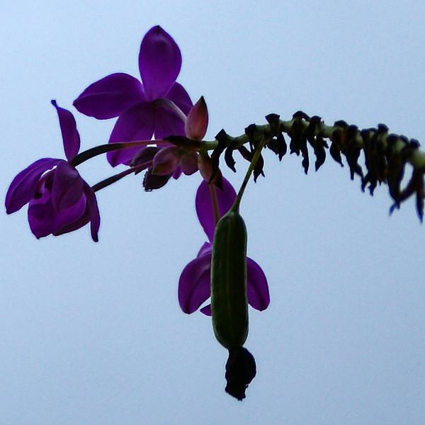 JAVA. PURPLE FLOWER. INDONESIA.