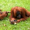 BABY ORANG UTANG WITH MOTHER. LEUSER NATIONAL PARK. BUKIT LAWANG. SUMATRA. INDONESIA.