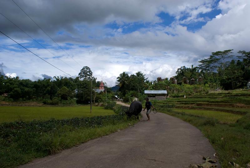 TANA TORAJA LANDSCAPE WITH WATER BUFFALO, RICE PADDIES AND CHRISTIAN CHURCH. SULAWESI. INDONESIA.