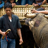 FUNERAL CEREMONY. TANA TORAJA. SULAWESI. INDONESIA. KILLING OF A WATER BUFFALO.