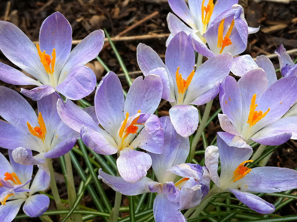 First Crocuses of Spring