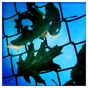 Fenced leaves - Fall