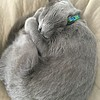 Sleeping Russian Blue Cat