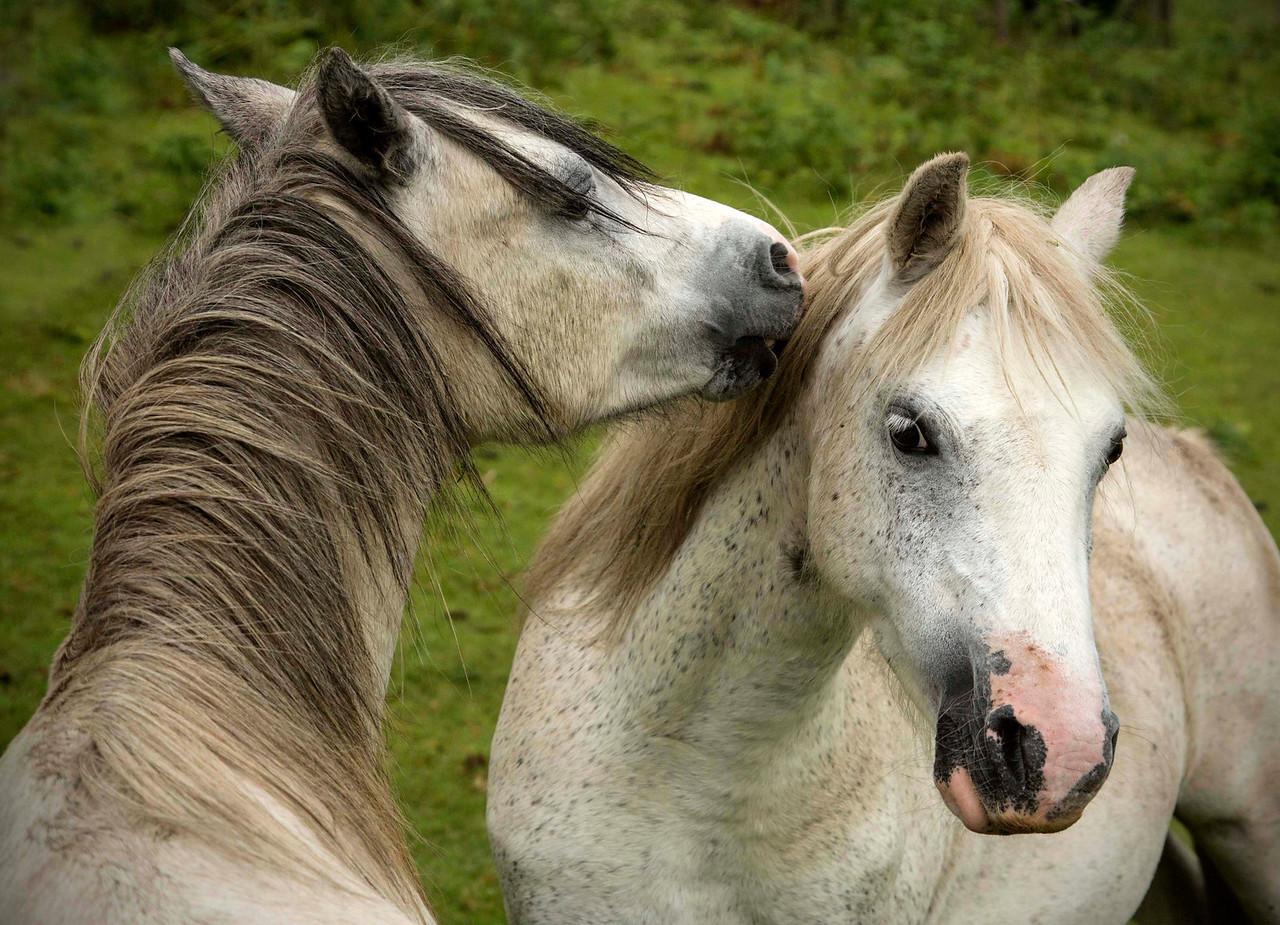 Wales Horse Gentle Kiss