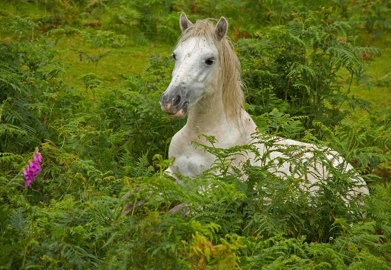 Wales Horse in bracken-fern & foxglove