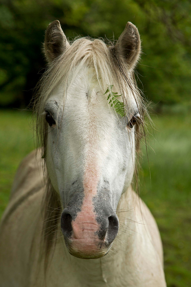 Wales Horse with fern in mane