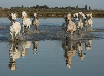 Camargue Horse Reflection - 2
