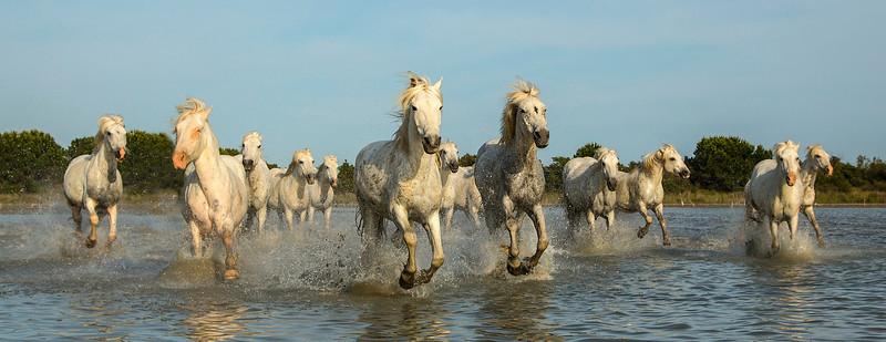 Camargue Horse Pano - 2