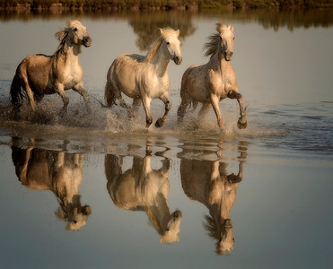 Camargue Horse Trio with Reflection