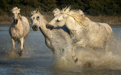 Camargue Horse Trio Battle